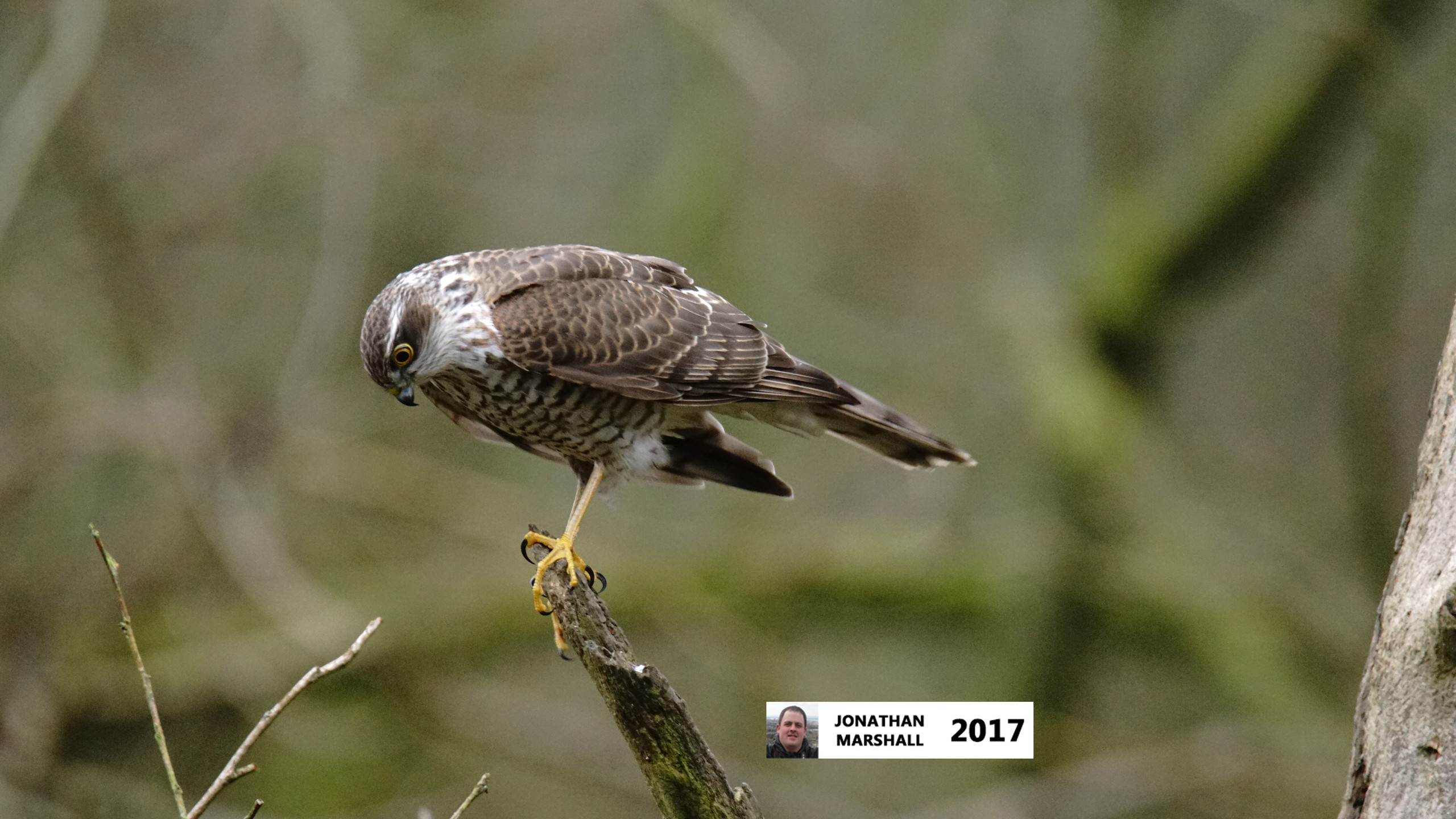 Sparrowhawk (Female)