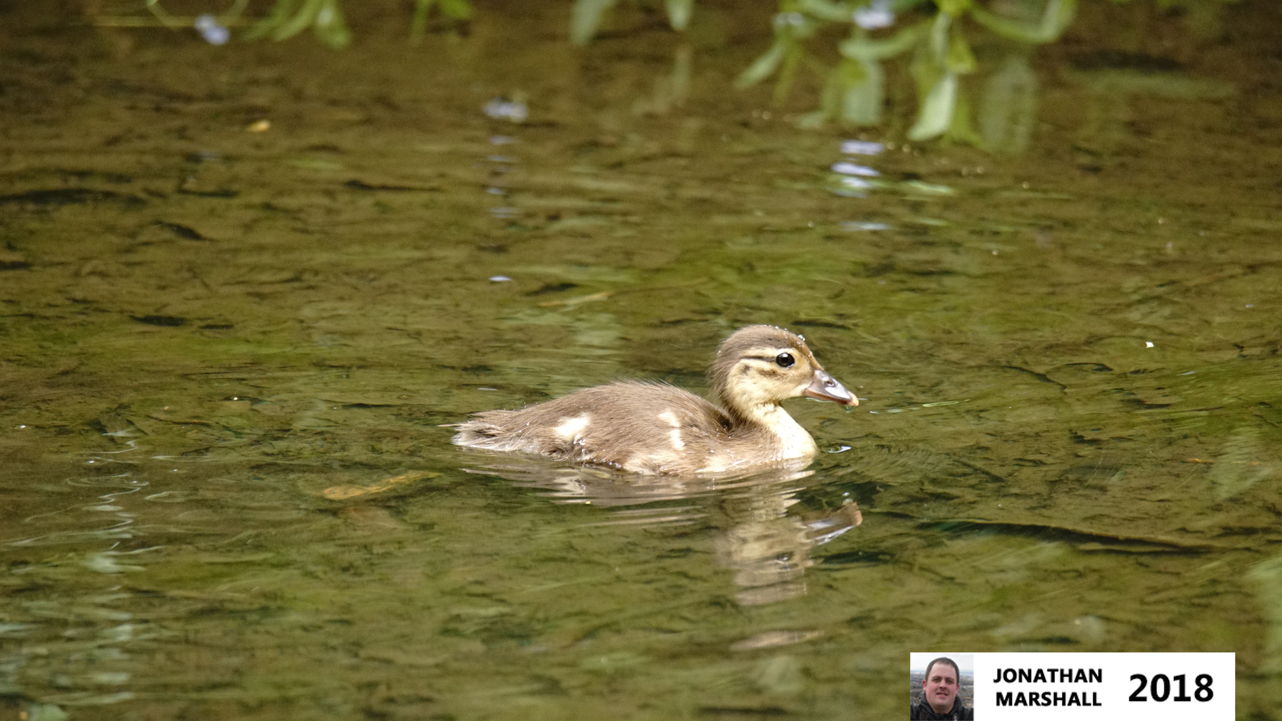 Mandarin Duck chick