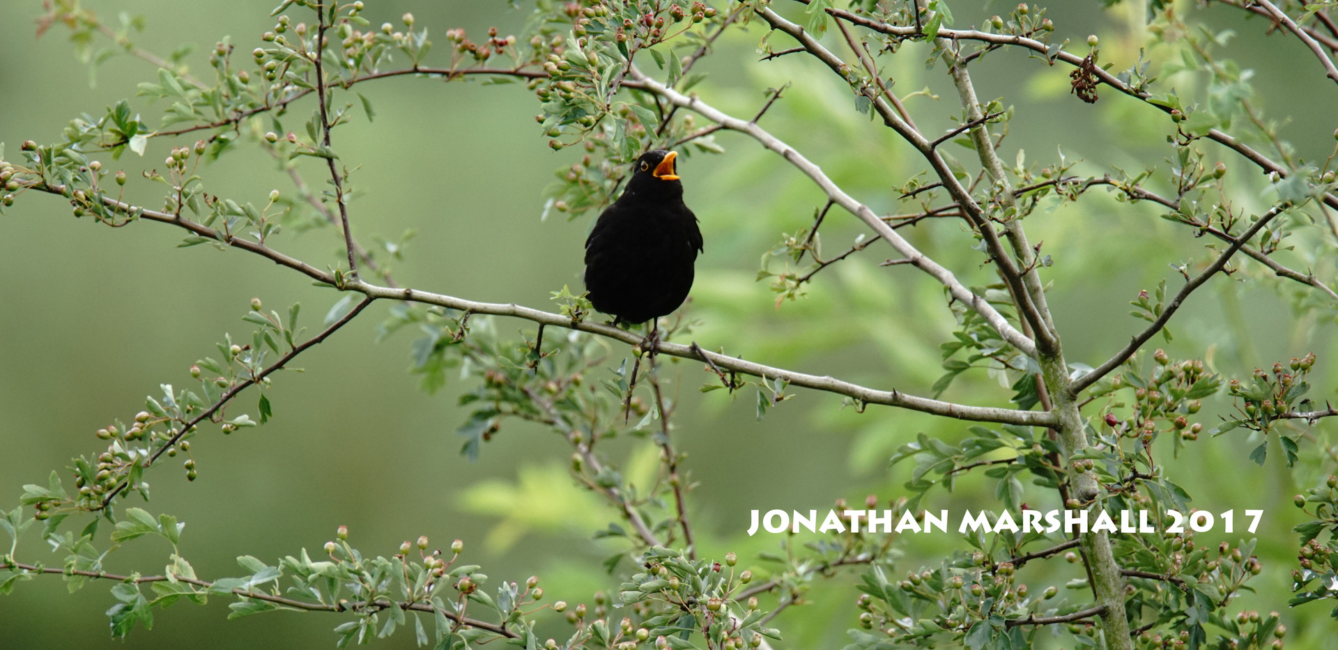BLACKBIRD002.jpg