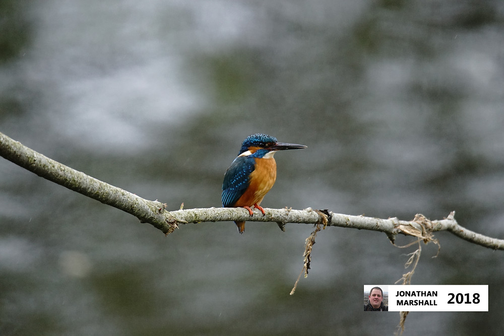 Kingfisher (Male)