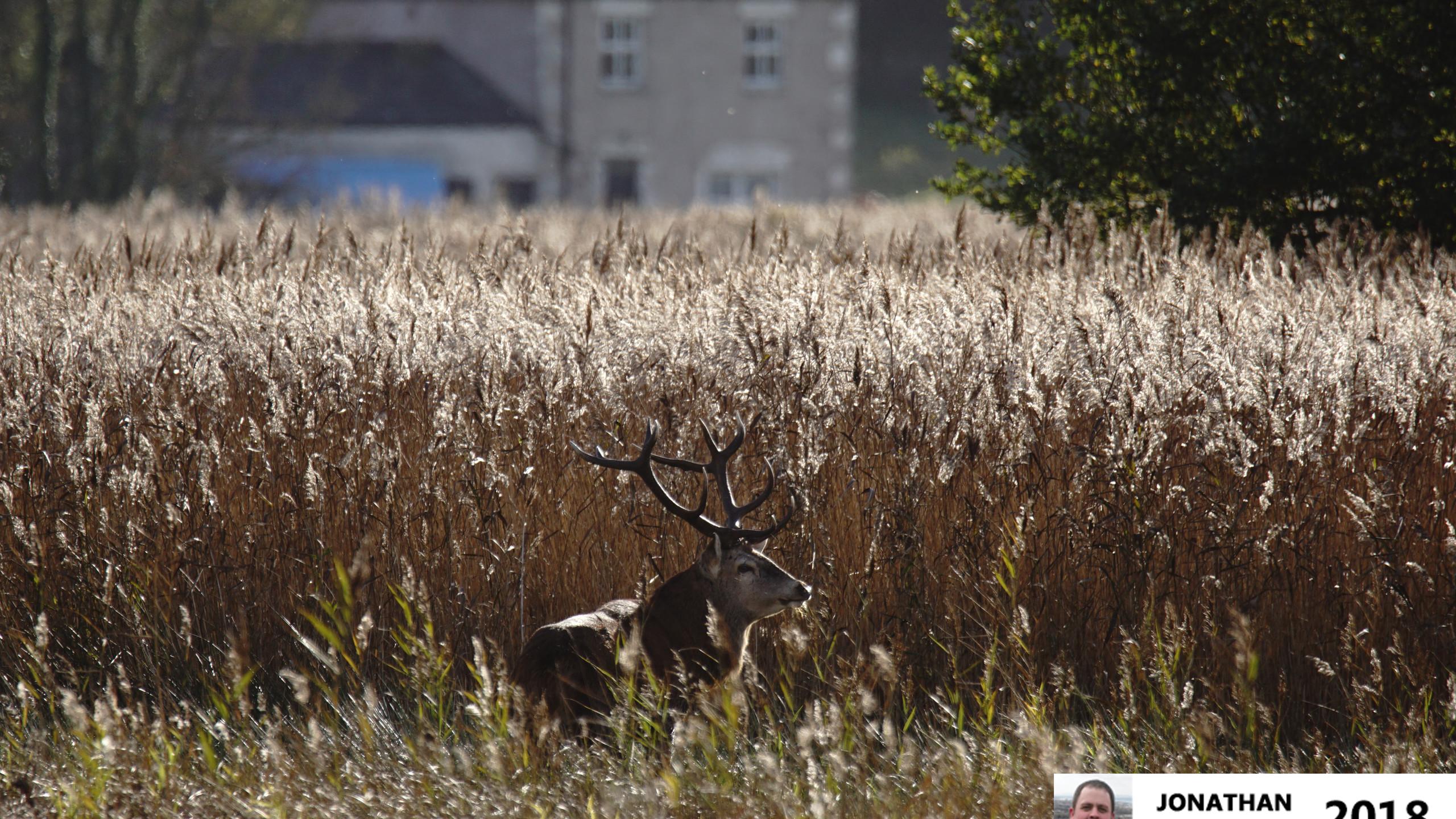 Red Deer (Stag)