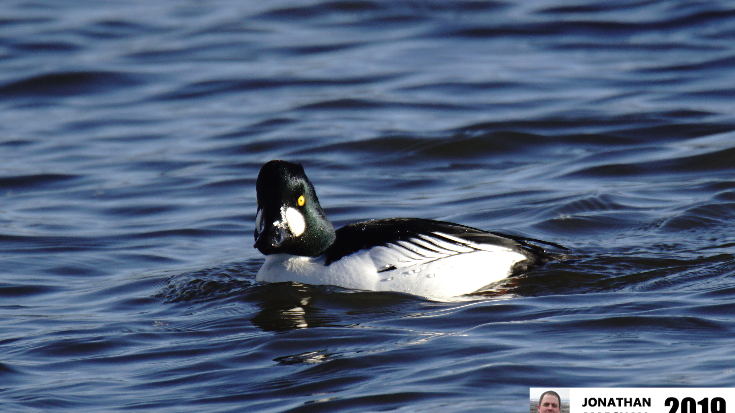 GOLDENEYE (MALE)