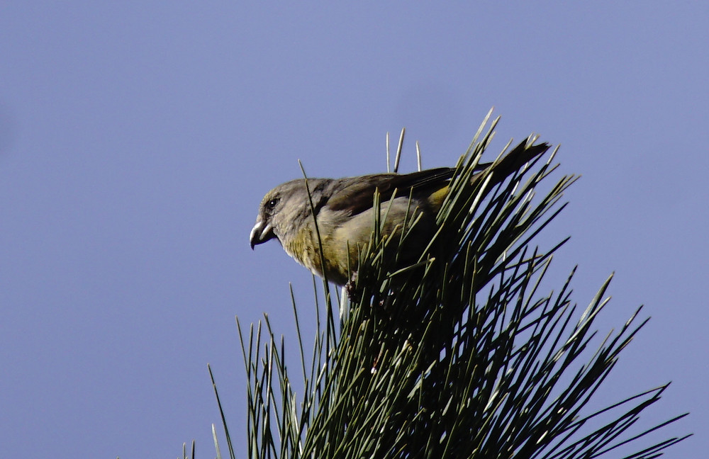 Crossbill (Female)