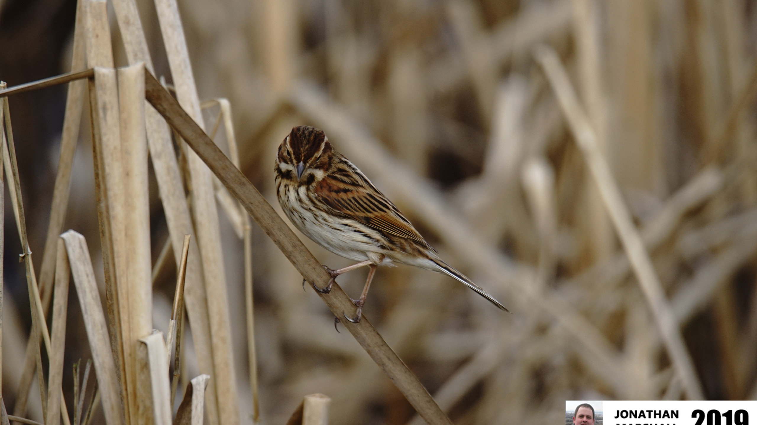 Reed Bunting (Female)