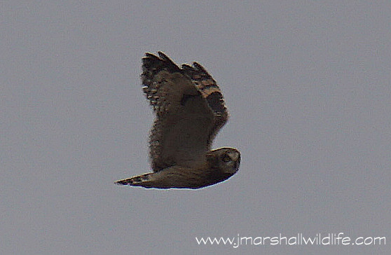 A very distant Short Eared Owl