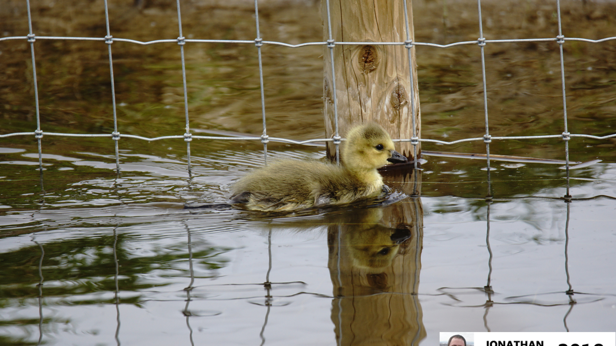 Canada Geese chick