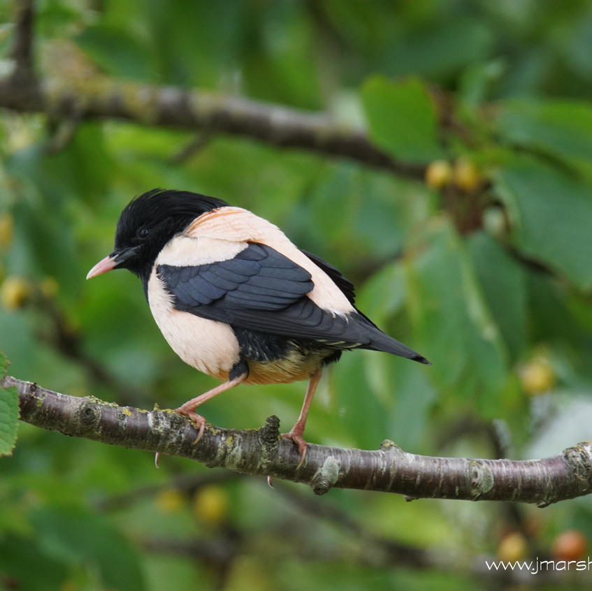 ROSY STARLING 5