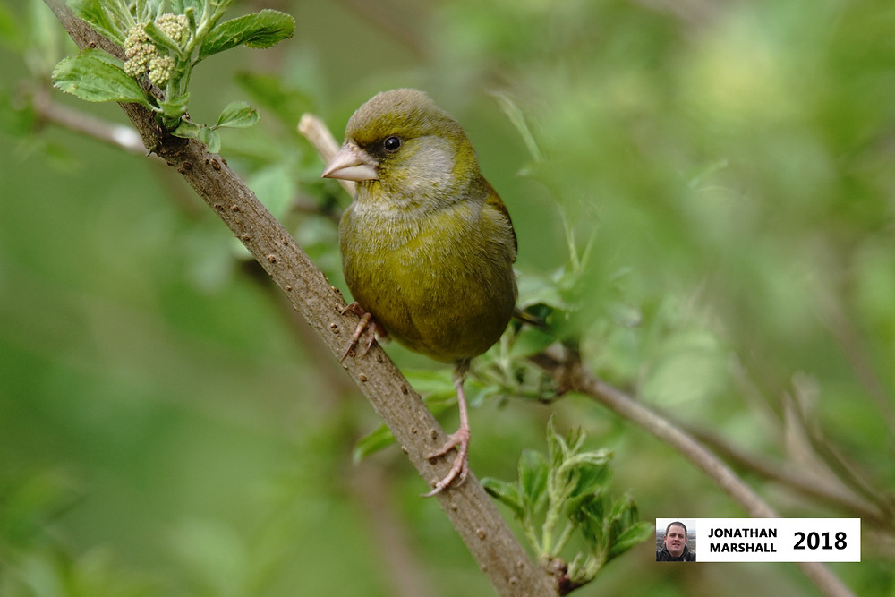 Greenfinch (Male)