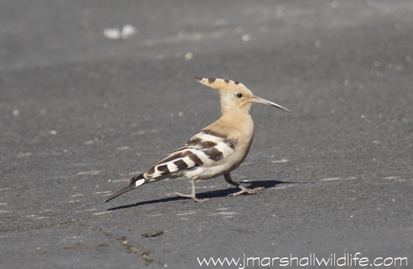 Hoopoe makes rare visit to Collingham