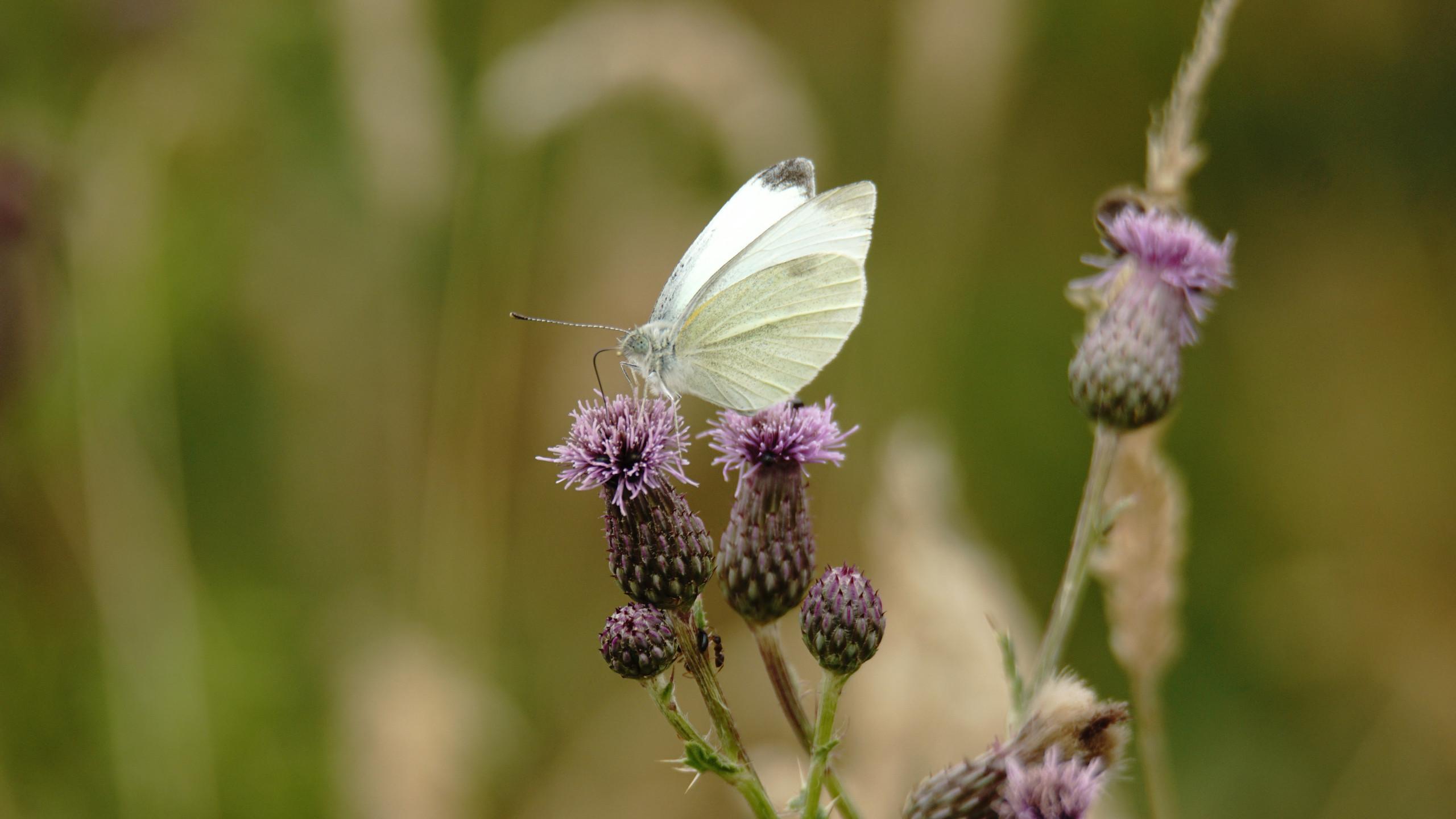 Green Veined White Butterflies