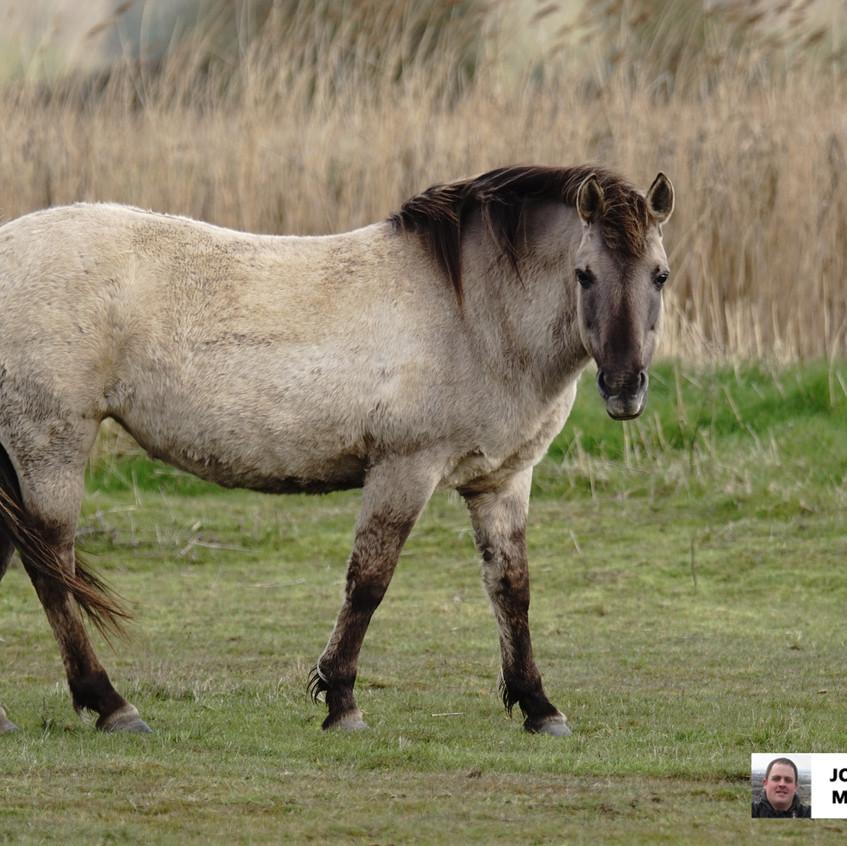 Konik Ponies