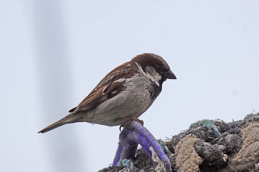 Tree Sparrow (Male)