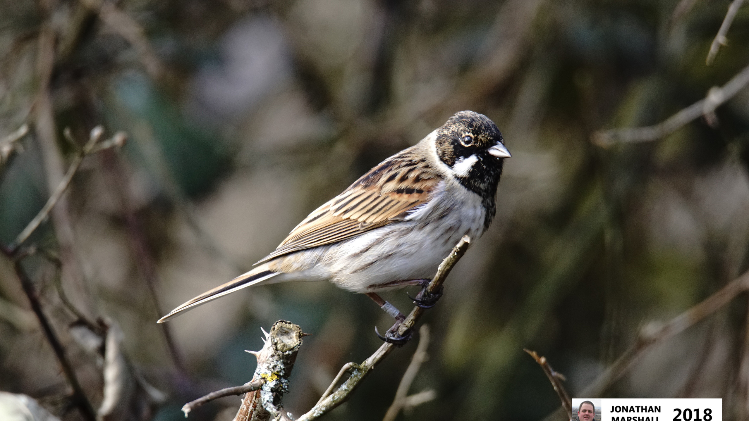 Reed Bunting (Male)SC01148A