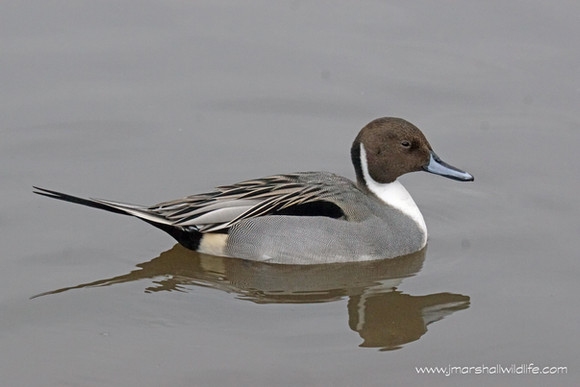 PINTAILS GALORE @ MARTIN MERE WWT