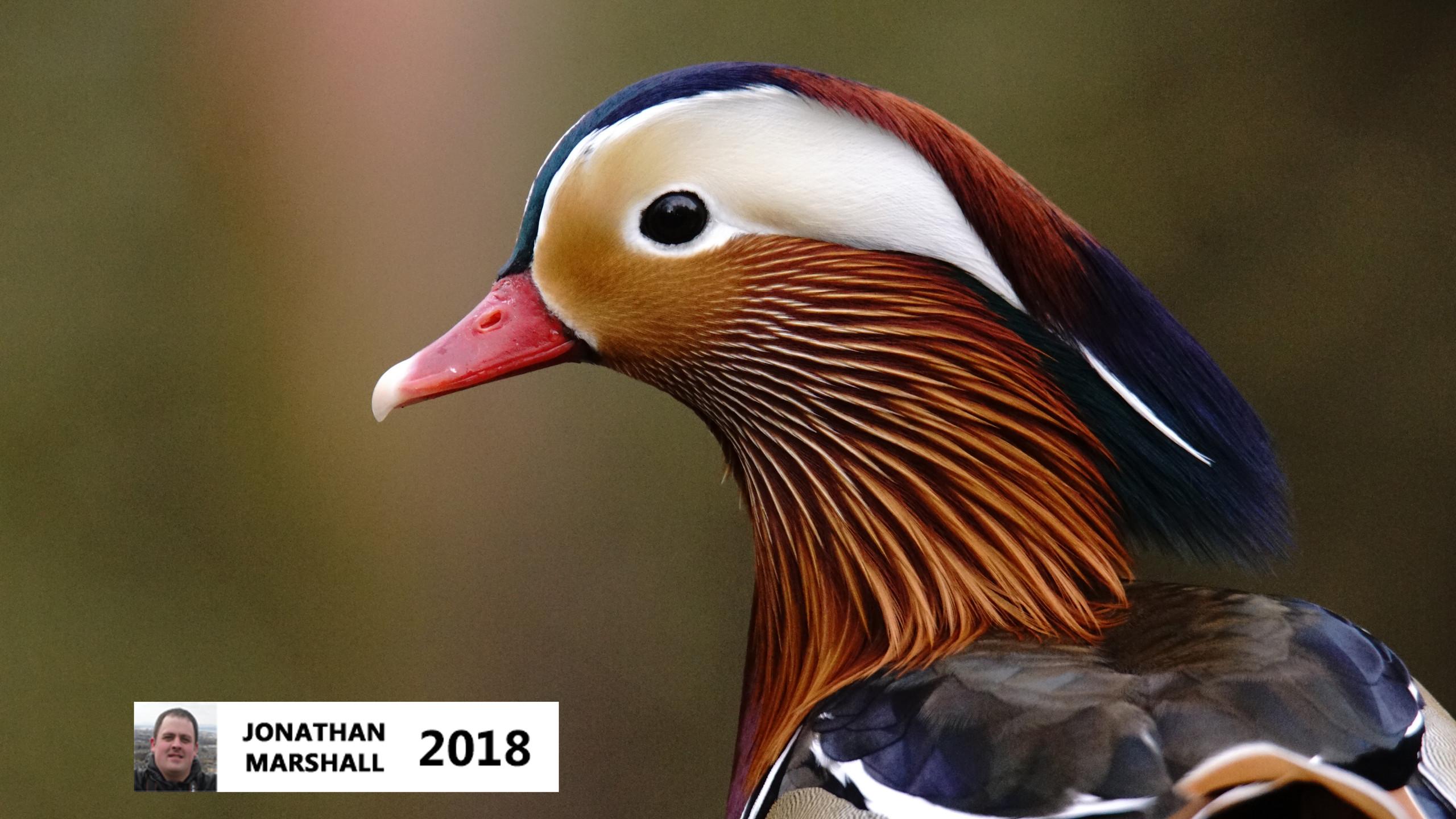 Mandarin Duck (Male)