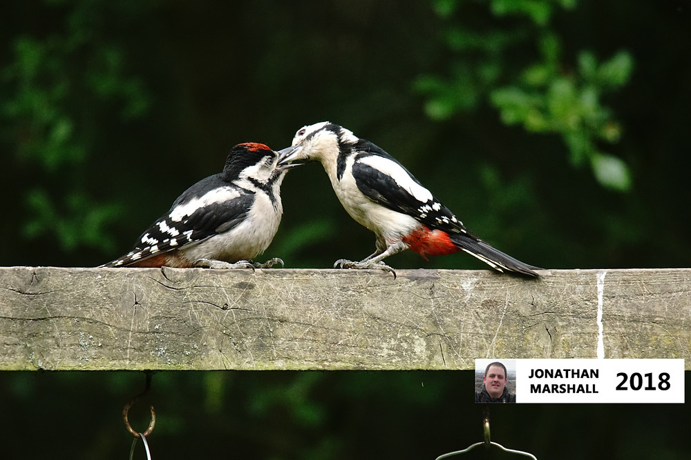 Adult Male & Juvenile Great Spotted Woodpeckers