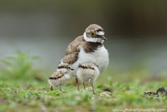 TINY LITTLE RINGED PLOVER CHICKS THE STAR @ TOPHILL LOW NATURE RESERVE