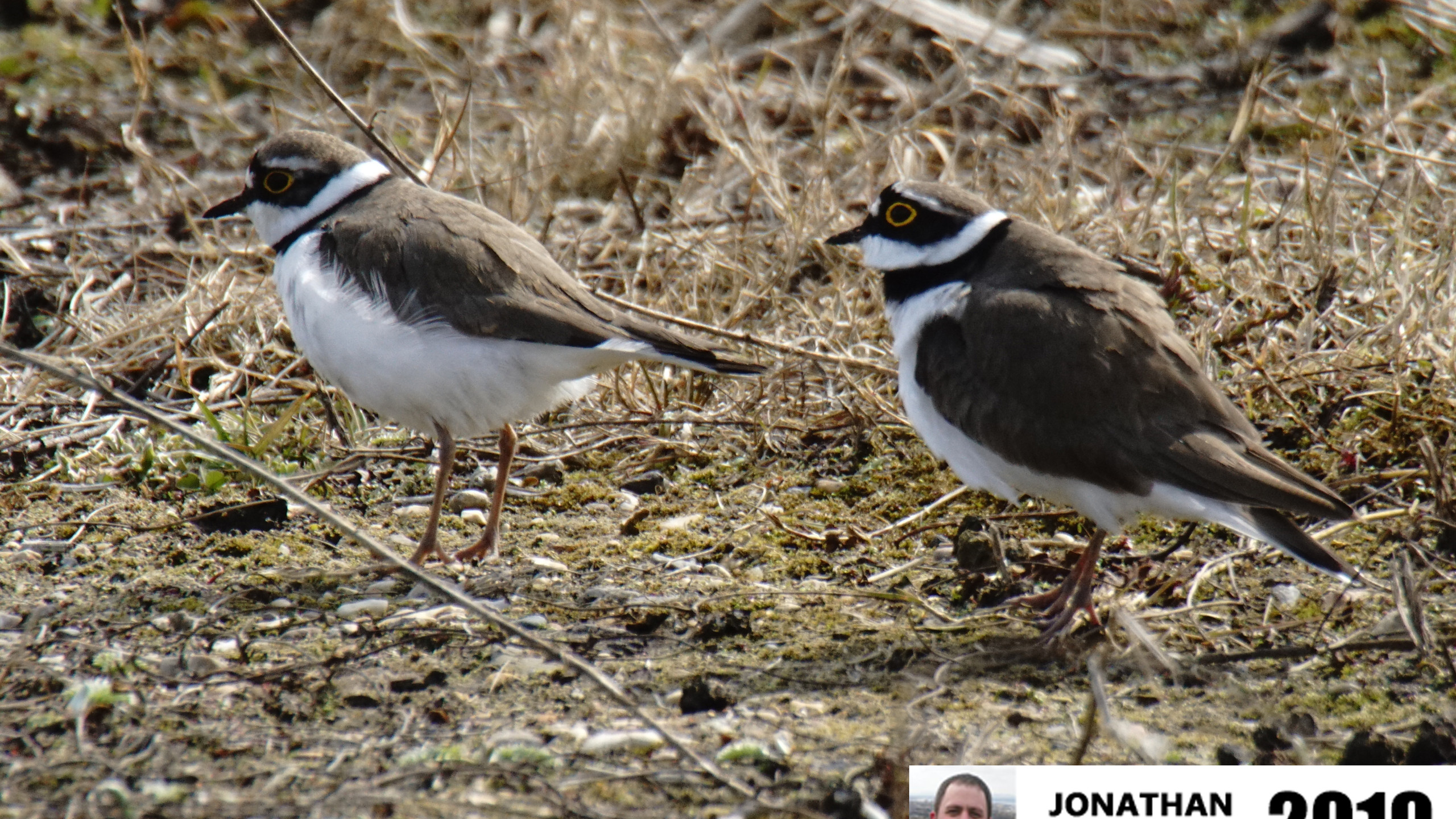 Little Ringed PloversC05496A
