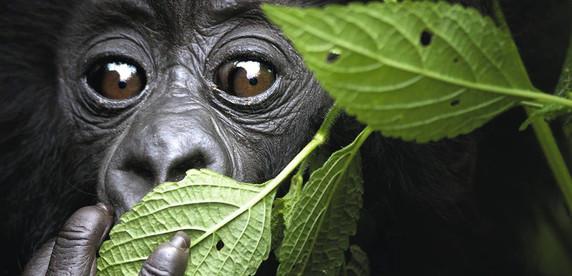 G-3-gorilla.jpg