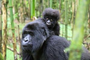 G-2-gorilla.jpg