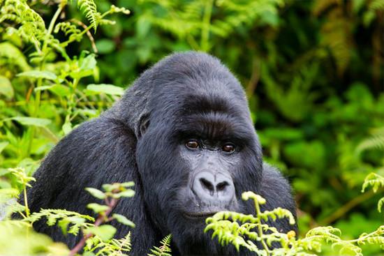 G-6-gorilla.jpg
