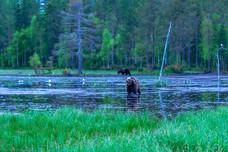 Brown Bears, in Kuusamo region, Finland