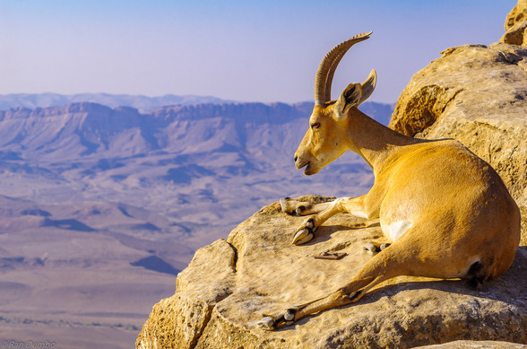 Nubian Ibex on the cliffs of Makhtesh (crater) Ramon, Israel