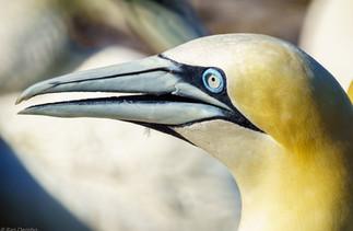 Gannet birds in the Bonaventure Island, QC, Canada