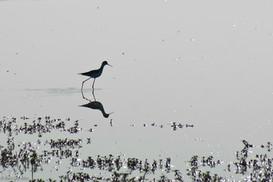 Bird in agamon Hula, Israel