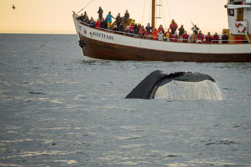 Whale watching, near Husavik, Iceland
