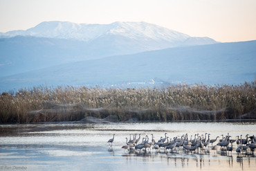 Common crane birds in Agamon Hula bird refuge, Israel