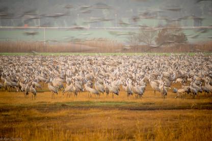 Crane birds in Agamon Hula bird refuge, Israel