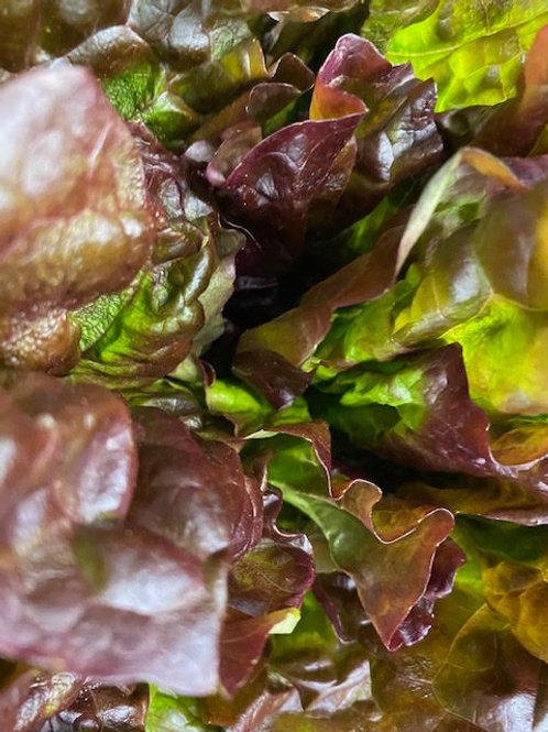 Lettuce- Red Leaf