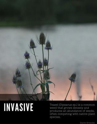 Dipsacus sp. poster.jpg