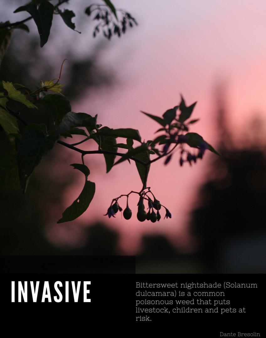 Solanum dulcamara poster.jpg