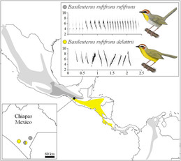 Divergence in Plumage, Voice, and Morphology Indicates Speciation in Rufous-Capped Warblers (Basileuterus rufifrons)
