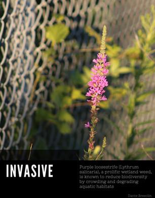 Lythrum salicaria poster.jpg