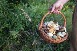 Wicker basket full of wild mushrooms in