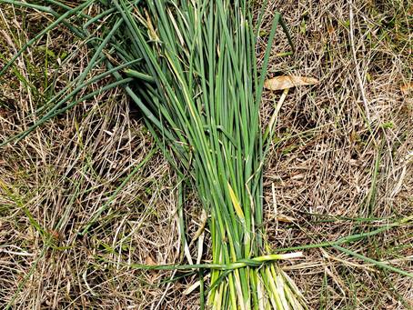 Confit Wild Field Garlic and Oil