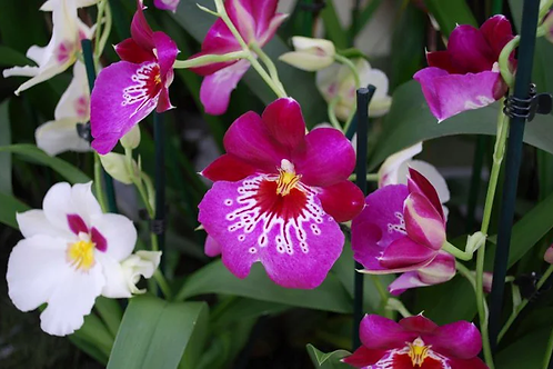 Orchids assorted 55mm