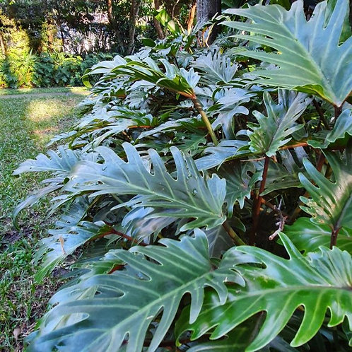 Philodendron xanadu 200mm