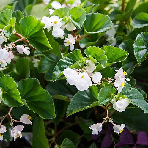Begonia 'Baby Wing' White' 140mm