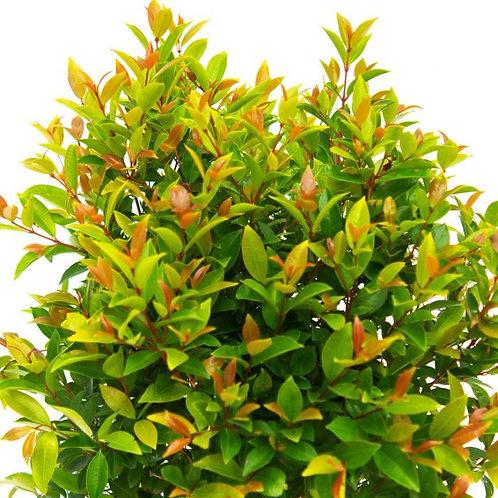 Syzygium austral 'Aussie Boomer'