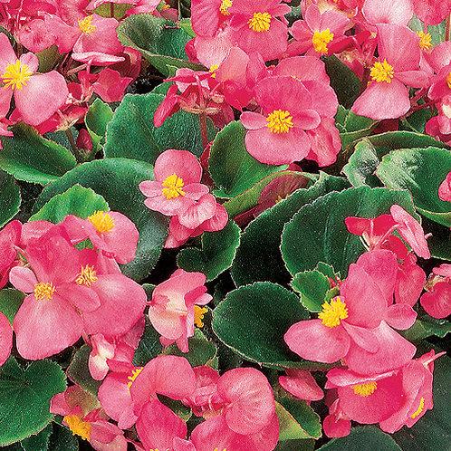 Begonia ambassador pink 140mm