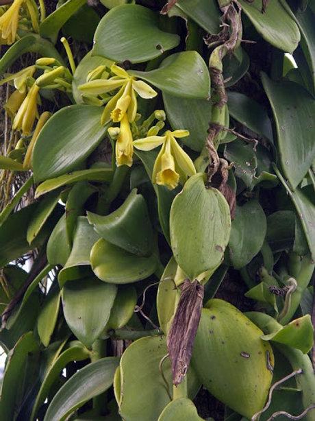 Planifolia orchid(Hanging Basket)