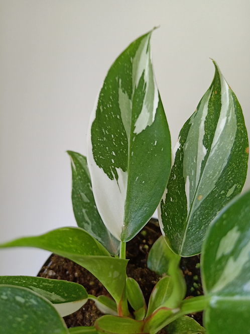 Philodendron 'white princess' 200mm