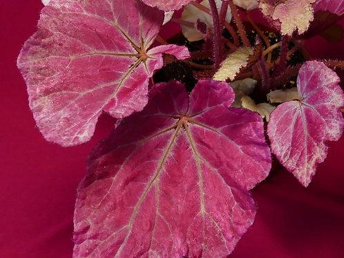 Begonia harmony's pink satin 140mm