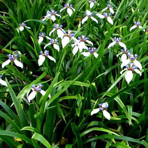 Neomarica bicolour gracilis 200mm