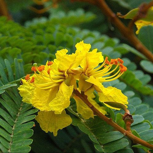 Peltophorum pterocarpum 200mm