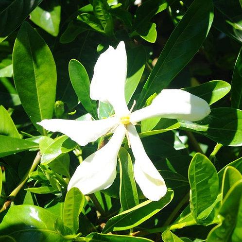 Gardenia vietnamensis 200mm